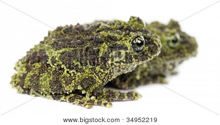 Two Mossy Frogs, Theloderma corticale, also known as a Vietnamese Mossy Frog, or Tonkin Bug-eyed Frog, against white background