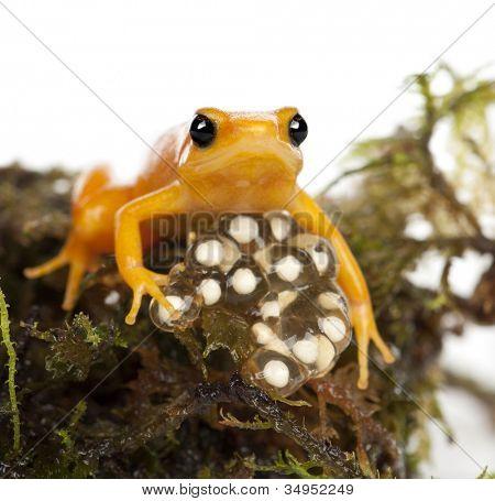Golden Mantella protecting her eggs, Mantella aurantiaca, portrait against white background