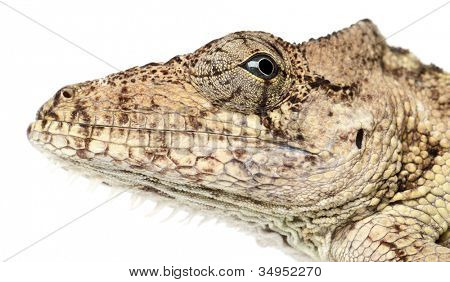 Oriente Bearded Anole or Anolis porcus, Chamaeleolis porcus, Polychrus is a genus of lizards, commonly called bush anoles, close up against white background