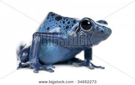 Blue and Black Poison Dart Frog, Dendrobates azureus, portrait against white background