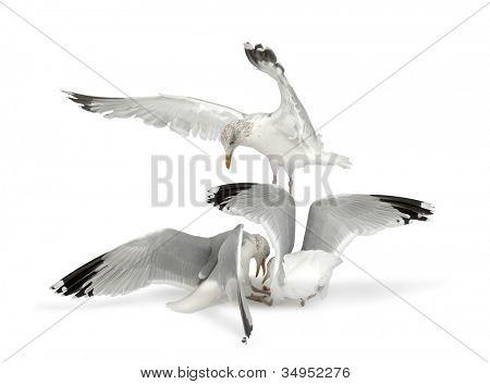 European Herring Gulls, Larus argentatus, 4 years old, in winter plumage fighting, against white background