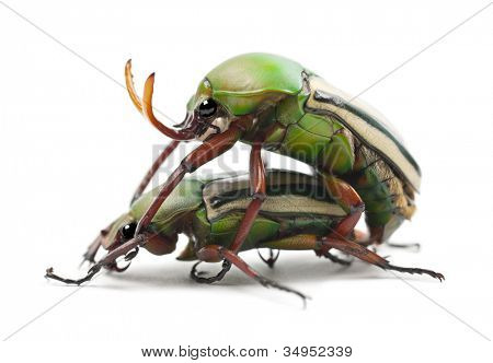 Mating Flamboyant Flower Beetles or Striped Love Beetle, Eudicella gralli hubini, against white background