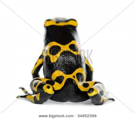 Rear view of a Yellow-Banded Poison Dart Frog, also known as a Yellow-Headed Poison Dart Frog and Bumblebee Poison Frog, Dendrobates leucomelas, against white background