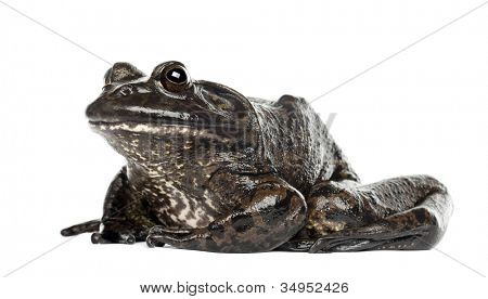 American bullfrog or bullfrog, Rana catesbeiana, against white background