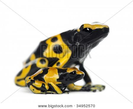 Yellow-Banded Poison Dart Frogs, also known as a Yellow-Headed Poison Dart Frog and Bumblebee Poison Frog, Dendrobates leucomelas, mother with young, against white background
