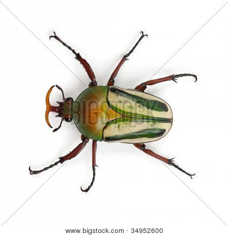 Male Flamboyant Flower Beetle or Striped Love Beetle, Eudicella gralli hubini, against white background