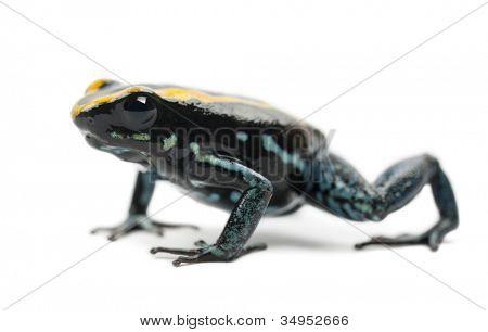 Golfodulcean Poison Frog, Phyllobates vittatus, portrait against white background