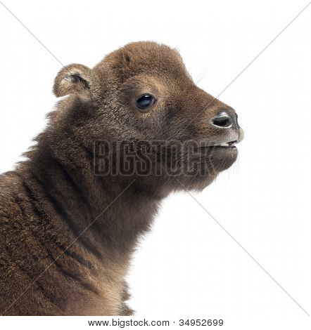 Mishmi Takin, Budorcas taxicolor taxicol, also called Cattle Chamois or Gnu Goat, 15 days old, close up against white background