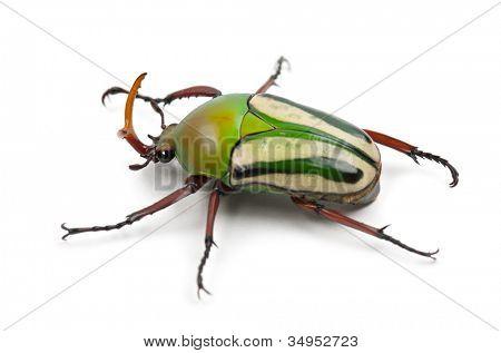 männlichen extravaganten Blüte Käfer oder gestreiften Liebe Käfer, Eudicella Gralli Hubini, gegen weiße backgro
