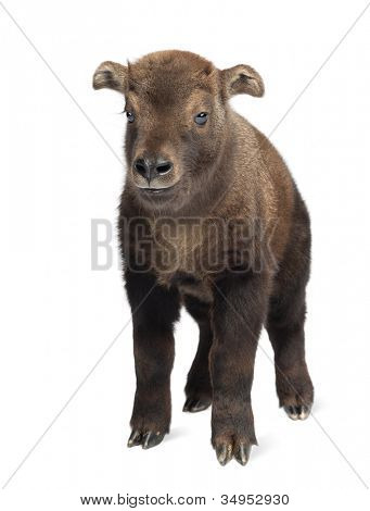 Mishmi Takin, Budorcas taxicolor taxicol, also called Cattle Chamois or Gnu Goat, 15 days old, portrait standing against white background