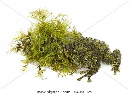 Mossy Frog next to Moss, Theloderma corticale, also known as a Vietnamese Mossy Frog, or Tonkin Bug-eyed Frog, against white background