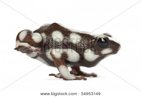 Mara?�?�±??n Poison Frog or Rana Venenosa, Ranitomeya mysteriosus, standing against white background