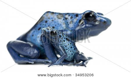 Female Blue and Black Poison Dart Frog with young, Dendrobates azureus, against white background