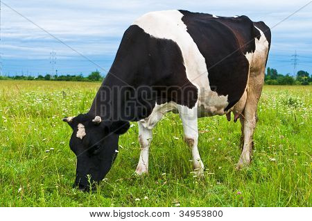 Cow grazing in a fresh pasture