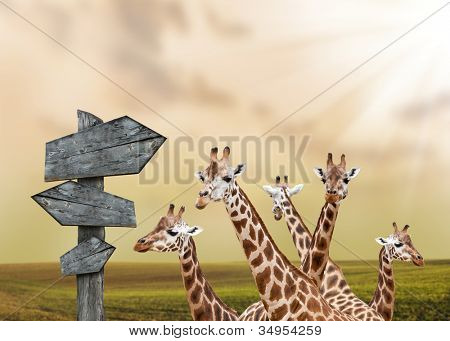 Group of giraffes lost in prairies, concept of travelling