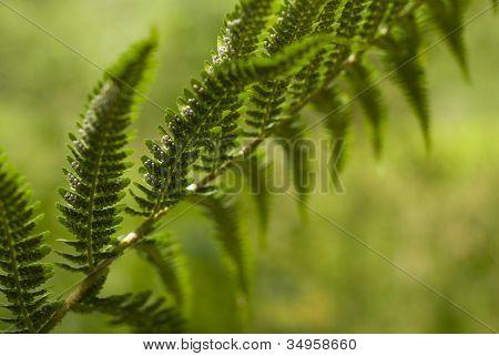 Bracken Fern Frond With Spores.