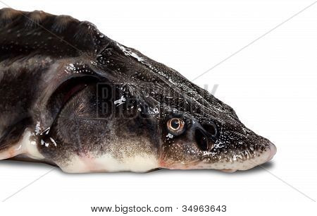 Sterlet Fish Head On White Background
