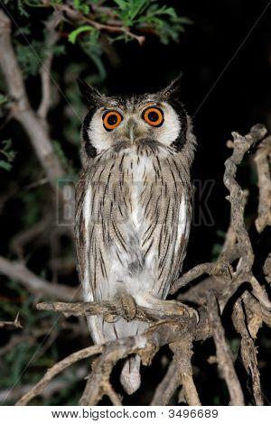 White-Faced Owl