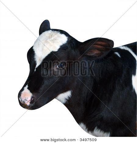 Friesian Calf