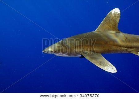 Oceanic Whitetip