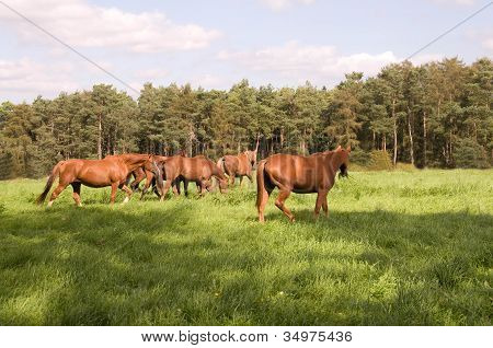 Horses Go  In The Pasture.