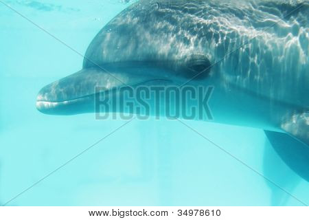 underwater portrait of bottlenose dolphin