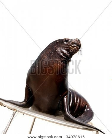 sea lion isolated over white background