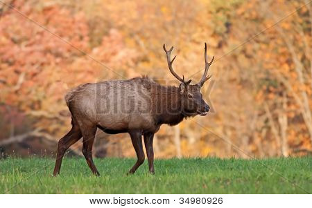 Elk In Autumn Sunlight
