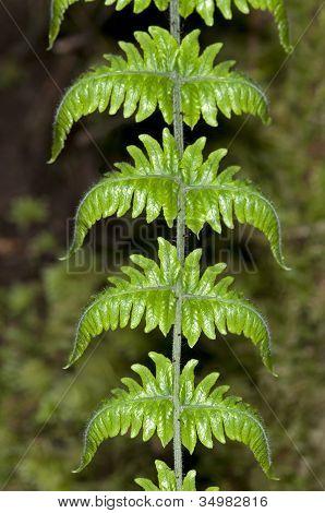 Symmetry of a fern frond