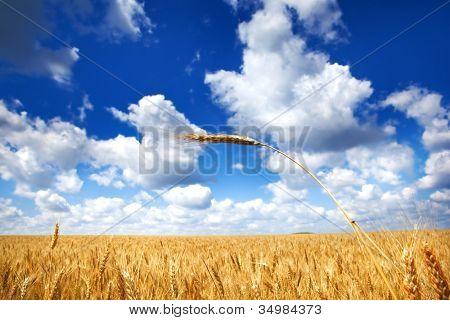 Campo de trigo bajo cielo azul