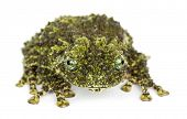 Mossy Frog, Theloderma corticale, also known as a Vietnamese Mossy Frog, or Tonkin Bug-eyed Frog, portrait against white background poster