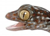 picture of gekko  - Tokay Gecko - JPG