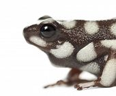 Mara?�?�±??n Poison Frog or Rana Venenosa, Ranitomeya mysteriosus, close up against white backgro
