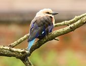 pic of blue winged kookaburra  - Portrait of a Blue Winged Kookaburra with blurred background - JPG