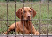 picture of vizsla  - A beautiful Hungarian Vizsla behind a fence - JPG