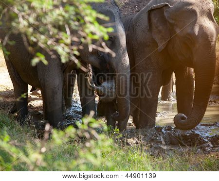 A Small Elephant Calf Is Hiding Behind Its Mother In Yala National Park In Sri Lanka