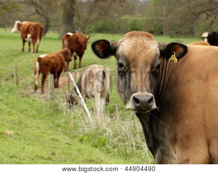 Brown Cow With Tag In Its Ear