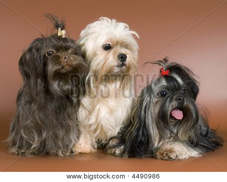 Three Lap Dogs