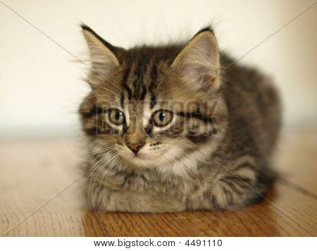 Gray Kitten Resting