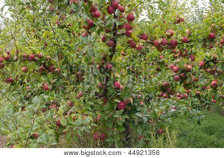 Apple Tree With Ripe Fruit