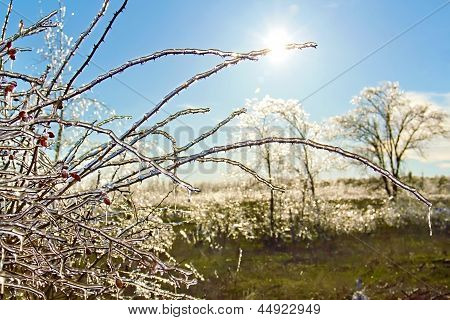 Icy Briar Branches In The Sunlight