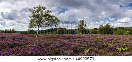 Purple Heather In Bloom In The New Forest