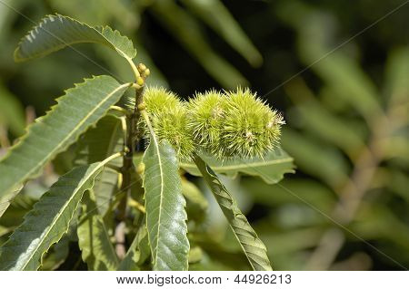 Sweet Chestnuts on Tree