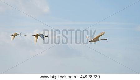 Swans flying in the sky in spring
