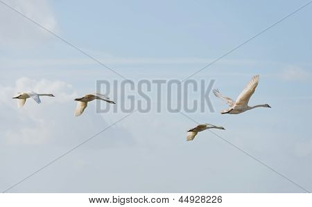 Swans flying in the sky in spring