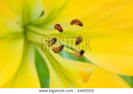 The Yellow Lily With Brown Stamens Macro