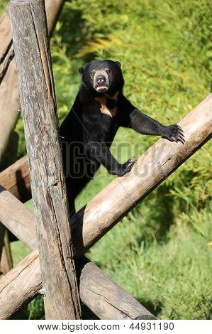 Sun Bear Pose