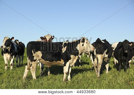 Cows On Green Meadow And Blue Sky.