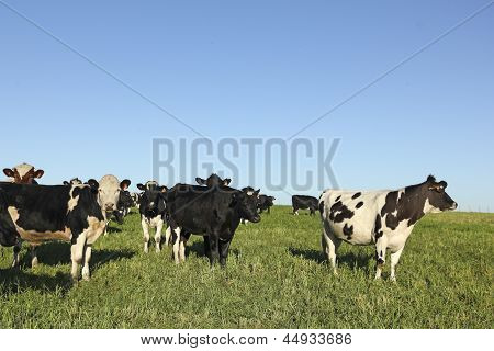Herd Of Cattle.