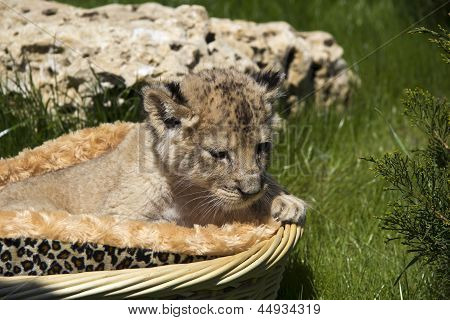 Little Lioness In The Basket